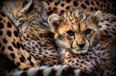 northern cheetah cub