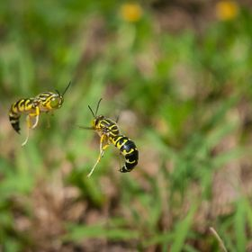 Sand wasps do a sundance, they spin in a circle maintaining the distance in a show of dominance while the female wasp digs a hole in the sand bel...