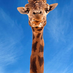 I do like giraffes!