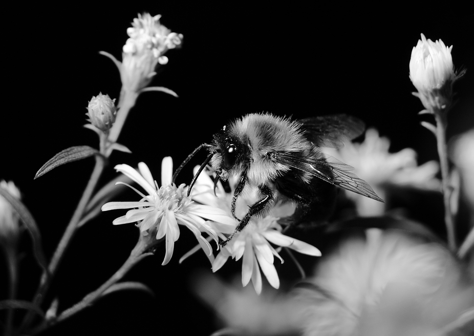 Bee drinking nectar from a white flower. Black&white.