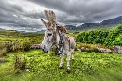 Irish-Donkey