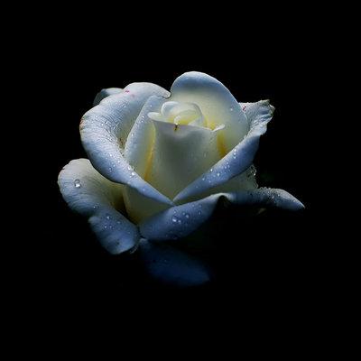White rose - returning