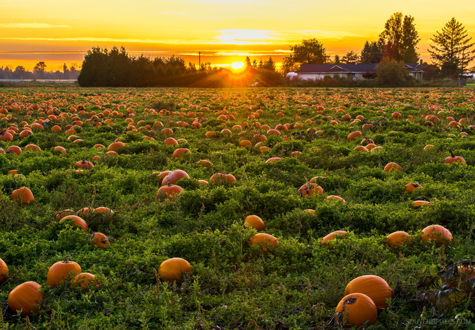 Pumpkin Patch by jameswheeler - Lost In The Field Photo Contest