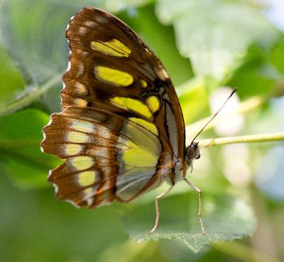 Papillons U Carleton, Ottawa Fall 2013-09