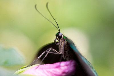 Papillons U Carleton, Ottawa Fall 2013-06