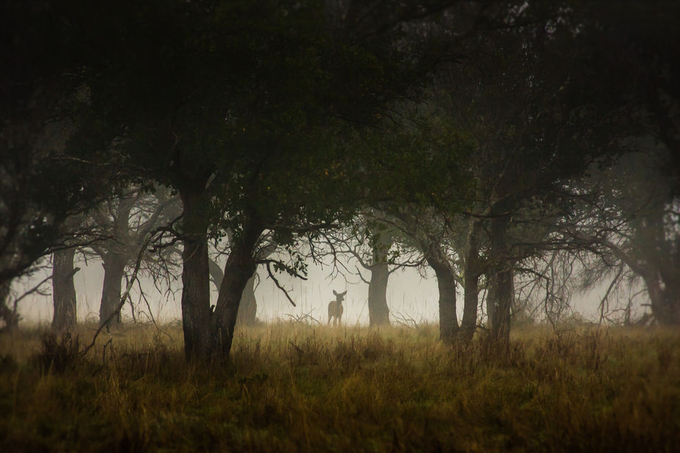 Deer in the Wood by victorhe - Lost In The Fog Photo Contest