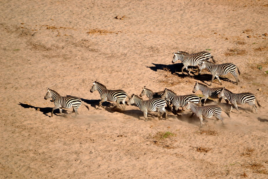 A Lion spooked this herd of Zebra, but from where I was standing I could not see the Lion, only l...