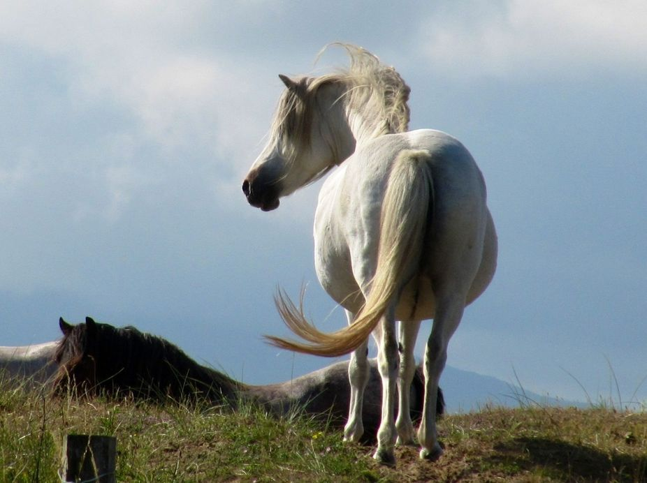 Wild ponies of Newborough ,Anglesey,iIt is great that you can walk across the common while they g...