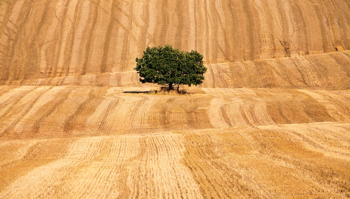 wheatfield tree by wolfman57 - A Lonely Tree Photo Contest