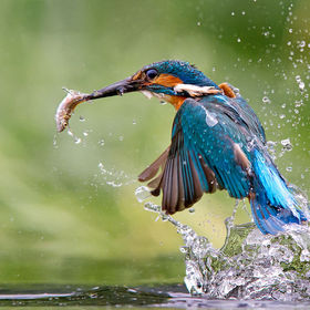 one from my Kingfisher series