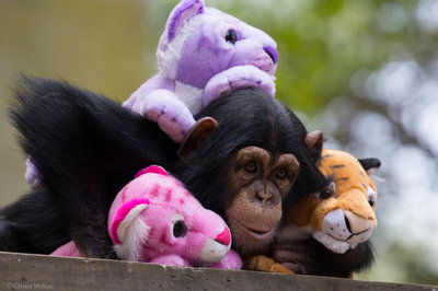 Chimp & Friends