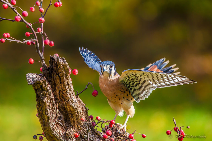 American Kestrel by DeadEye - The Beauty Of Nature Photo Contest