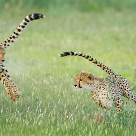 Two young Kalahari cheetahs chase each other around a fossil riverbed turned green by recent rains.