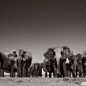 A herd of wild African Elephants emerge from a waterhole in Etosha, Namibia