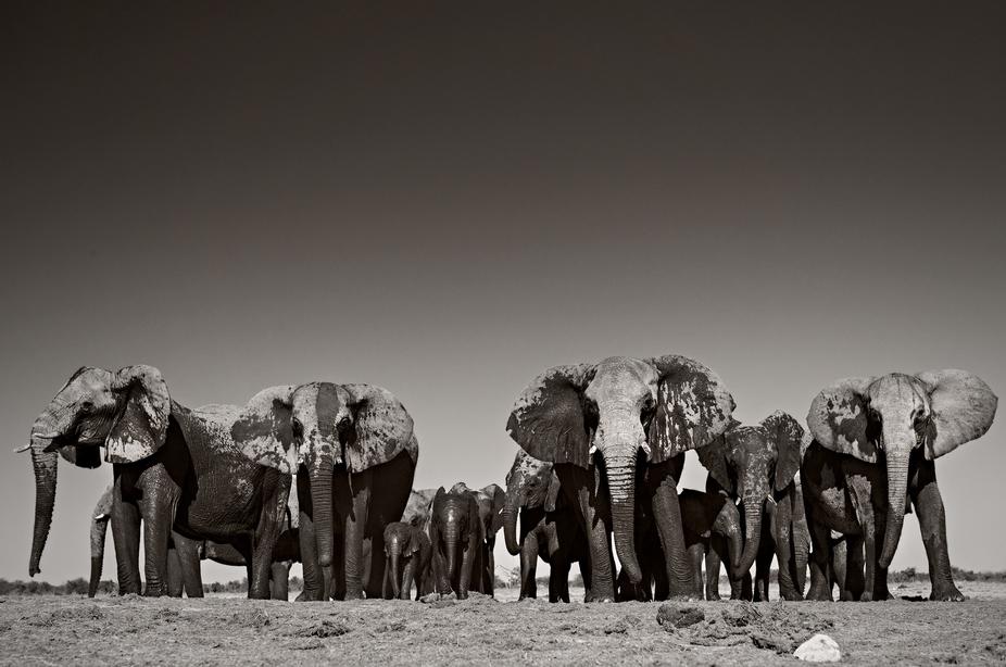 A herd of wild African Elephants emerge from a waterhole in Etosha, Namibia
