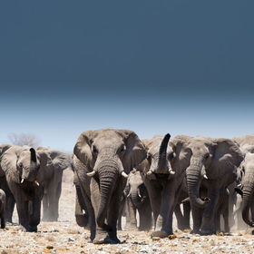 Group of elephants with males, females and babies in Etosha, Namibia, Africa.
