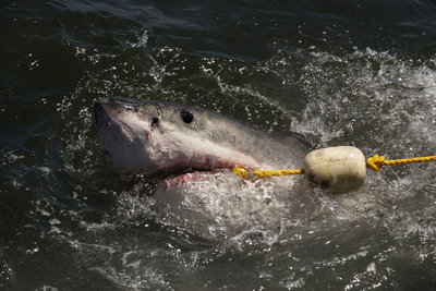 A great white shark proves too fast for the bait handler