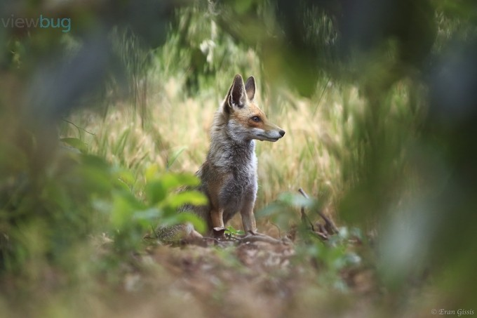 Red Fox by erangissis - Layered Compositions Photo Contest