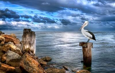 Pelicans Pride
