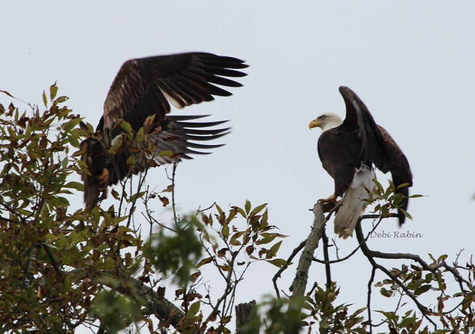 Adult startled by Juvie Eagle 10-14-13