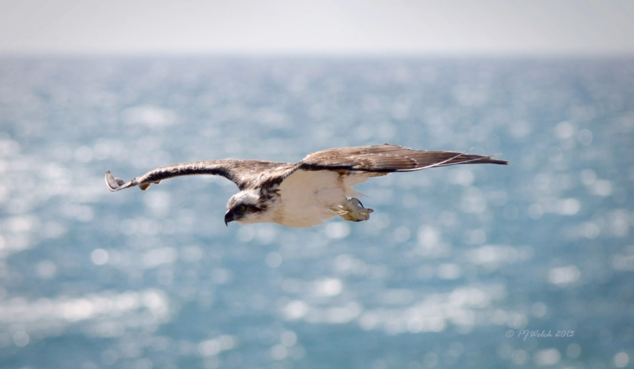 From a pair of resident Ospreys that Cruise along the coast hunting for prey