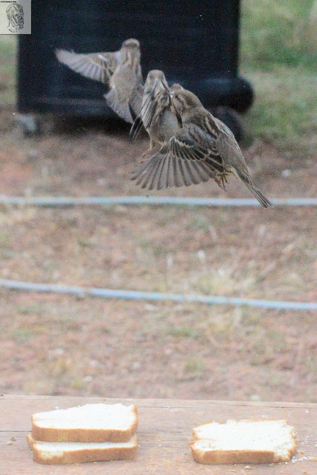Sparrows dancing in the Air after feeding on Sandwich Bread.