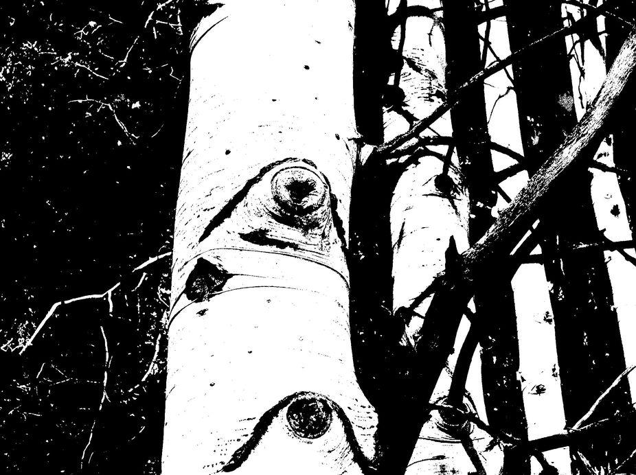 white trunk quakie