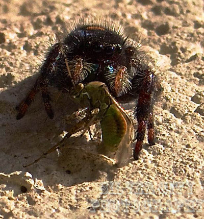 Jumping spider with dinner