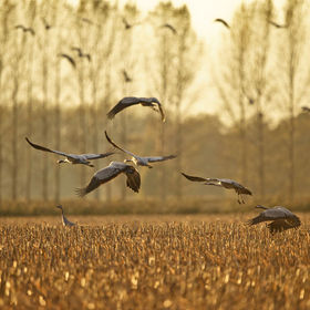 cranes during migration in the fall
