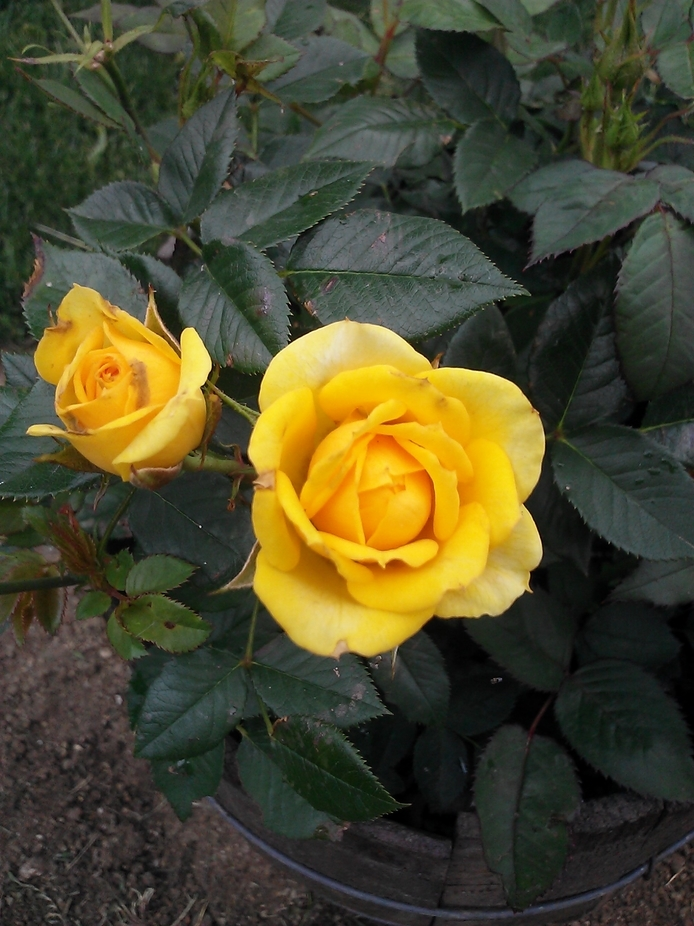 Yellow miniature roses first blooming for the summer