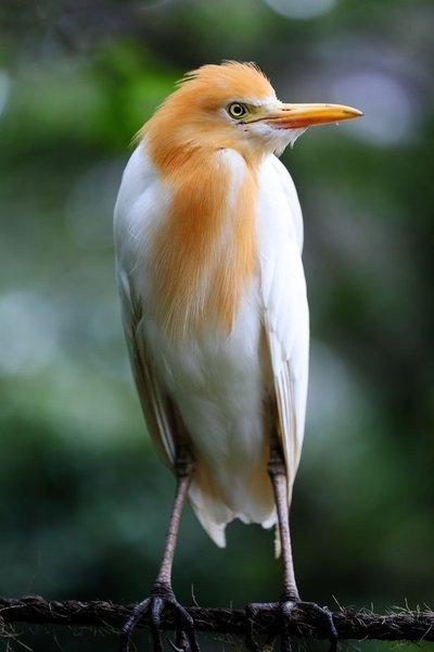 (Cattle Egret)