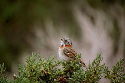 Singing Sparrow - Patagonia, Puetro tumbo, Argentina