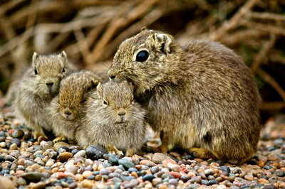 Hamster family - Patagonia, Argentina
