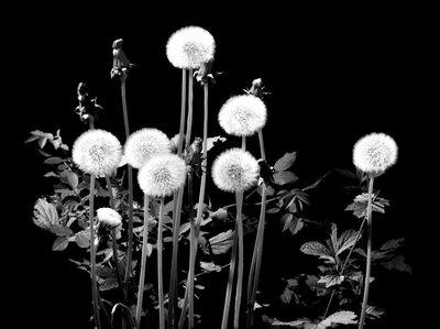 Old Dandelions