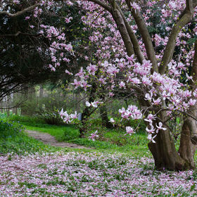 beautiful magnolia tree in full bloom in the spring