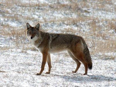 Coyote 2000