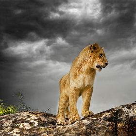 Lion cub before the storm