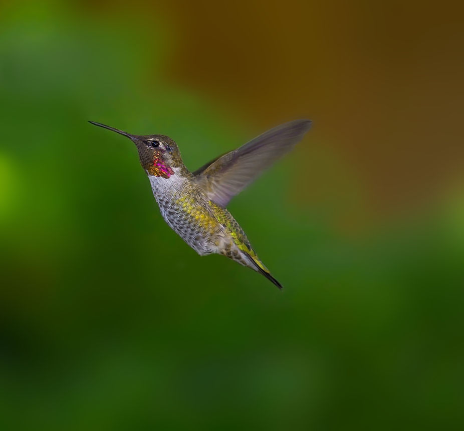 _MG_4605 hummingbird male var