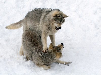 Timber Wolves fighting