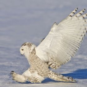 Snowy Owl - Photo was featured in the Hall of Fame on December 20, 2013