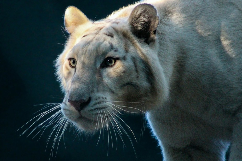 A colour version of the white tiger emerging from the shadows, taken at the secret garden and dol...
