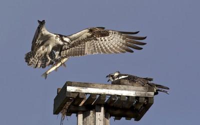 osprey serves lunch