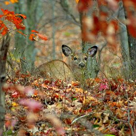 My fawn is now a grown doe and came for a visit today. Still enough foliage to capture great shots today. Finally settle down on the hill above m...