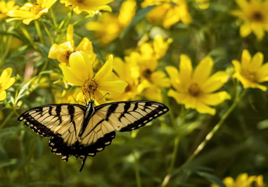 A butterfly enjoys some yellow flowers.