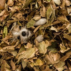 While playing in the fallen leaves the kids decided to bury one of our small dogs in the leaves, she just laid there and took it like a good litt...