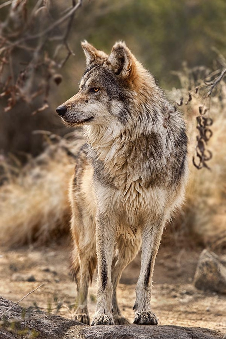 Mexican Wolf by dynastesgranti - Wolves Photo Contest