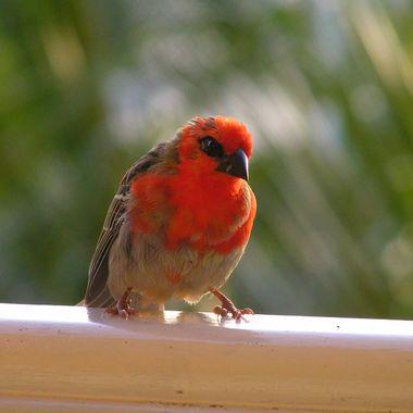 Native Bird - Mauritius