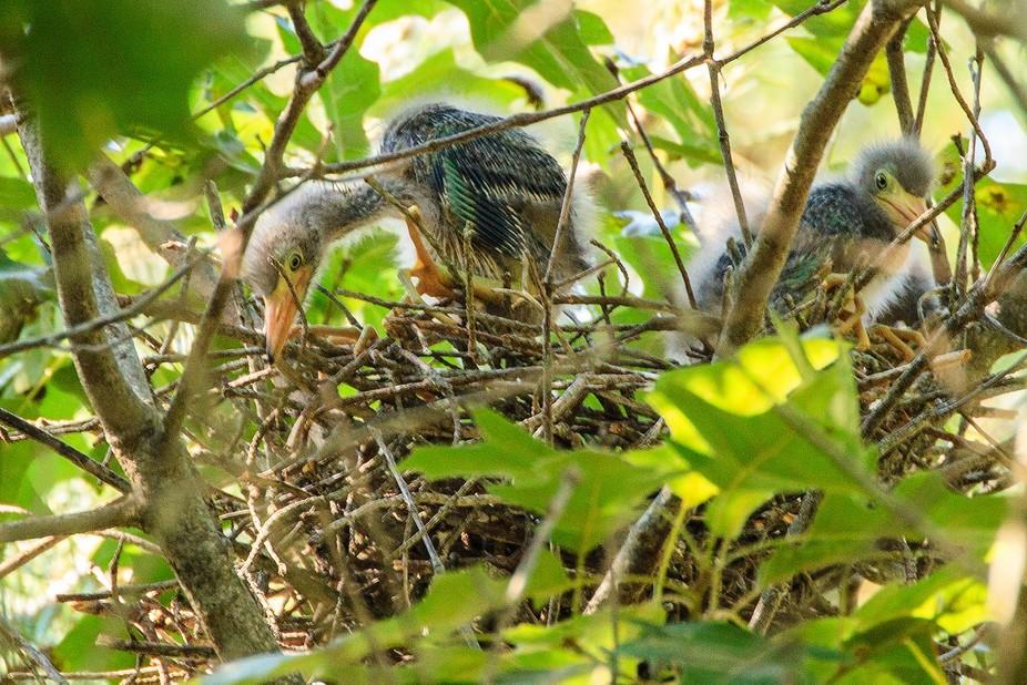 Green Heron Nestlings