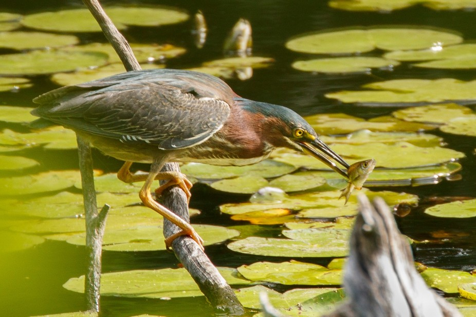 Found the Green Heron fishing from a branch.