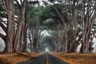 Foggy Cypress